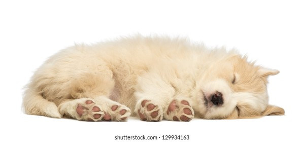 Border Collie puppy, 6 weeks old, lying and sleeping in front of white background