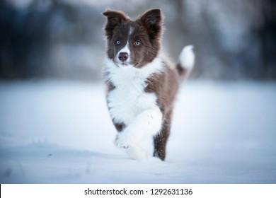 Border collie puppy in action. Puppy is running through the snow.