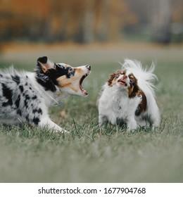 border collie puppy barking at a chihuahua dog