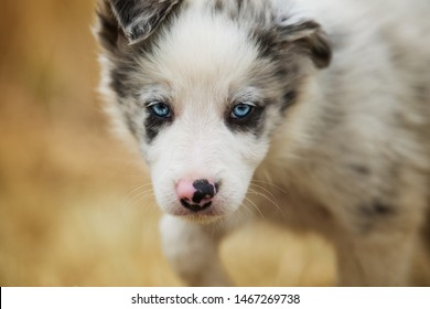 Border collie puppy with blue eyes looking to the camera