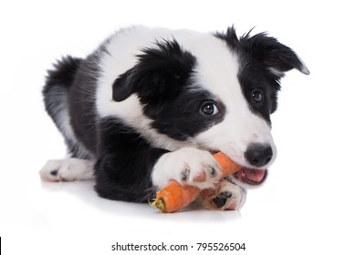 Border collie puppy with a carrot isolated on white