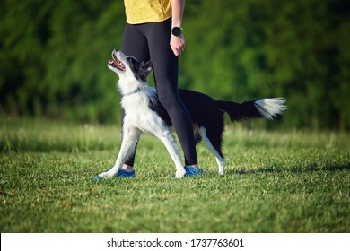Border Collie puppy during obedience training outdoors, dog training school