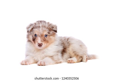 border collie puppy in front of a white background