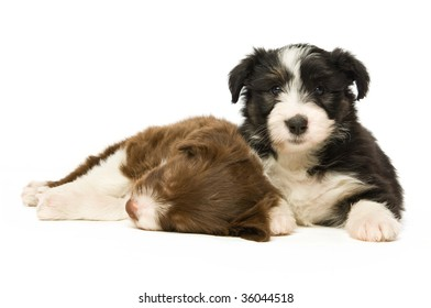 Border Collie puppy isolated on a white background while sleeping