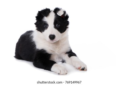 Border Collie puppy isolated on white background