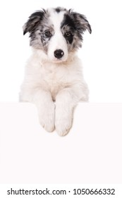 Border collie puppy looking over a wall isolated on white background