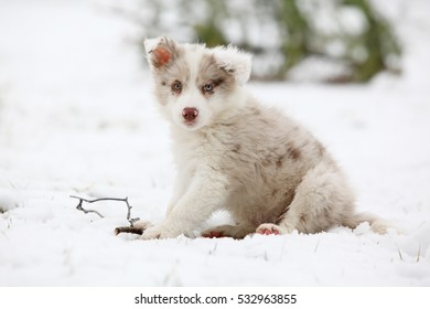 Border collie puppy looking at you, in winter