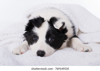 Border Collie puppy lying on a blanket