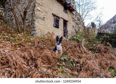 Border Collie Puppy in Merens les vals, Ariege, Occitanie, France.