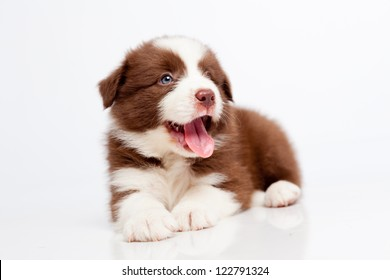 Border collie puppy, on a white background