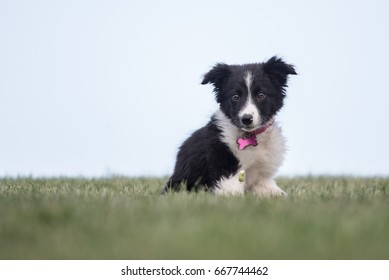 Border Collie Puppy outside sitting on grass, summer time.