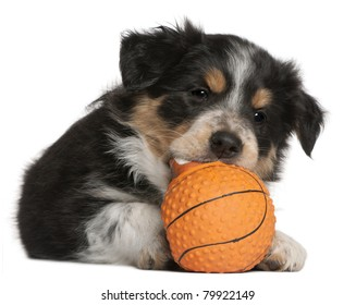 Border Collie puppy playing with toy basketball, 6 weeks old, in front of white background