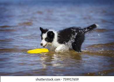 Border Collie puppy plays in water