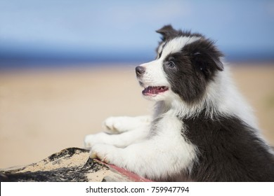 Border Collie puppy, a portrait on the beach
