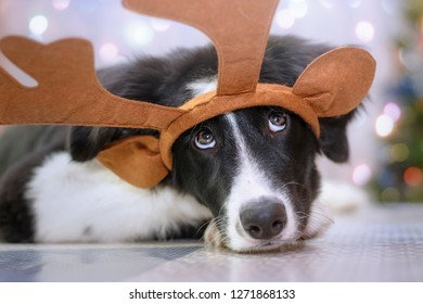 Border Collie puppy with reindeer antlers in a funny Christmas portrait