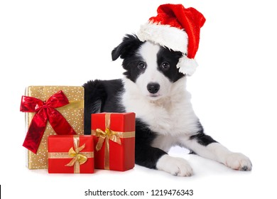 Border collie puppy with santa claus hat and christmas gifts idolated on white background