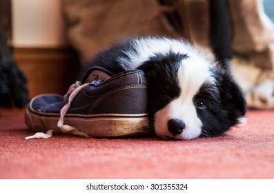 Border Collie Puppy with a Shoe