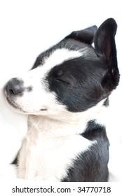 border collie puppy sleeping