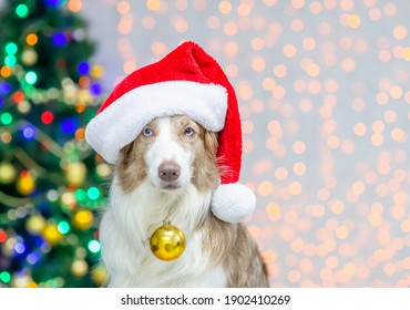 Border collie puppy wearing red santa hat holds Christmas decorations in it mouth. Empty space for text. Festive background with christmas tree
