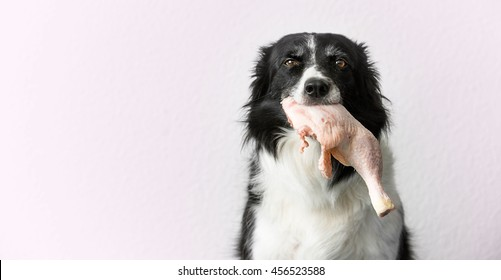 Border Collie with Raw Meat (Chicken Thigh) in Mouth