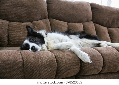 A Border Collie is relaxing on the couch