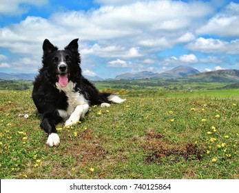 A border collie resting on the hill at Criccieth in North Wales, UK. There are mountains and partially-clouded blue sky in the background.