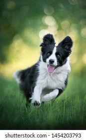 Border Collie is runnig on a meadow