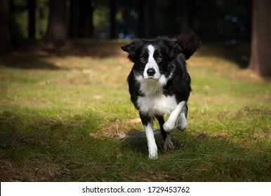 Border collie running in the forest