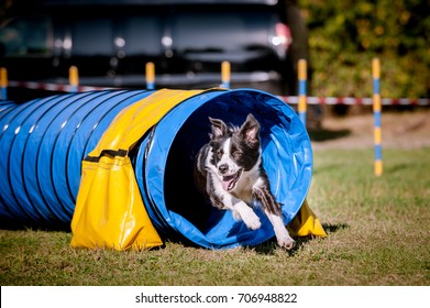 Border Collie running out of a tunnel with tis ears flapping