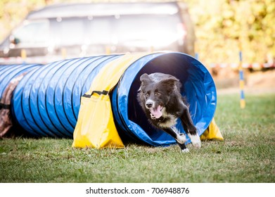 Border Collie running out of a tunnel