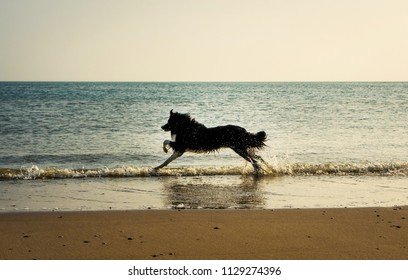 border collie runs in sea