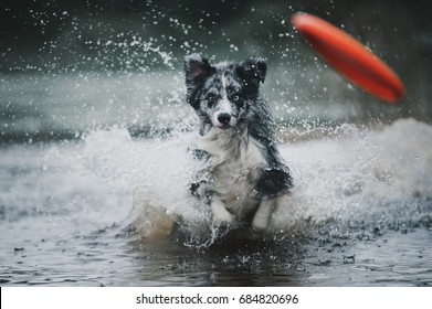 Border collie runs in the water