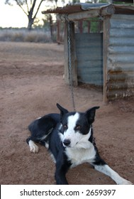 The border collie sheep dog