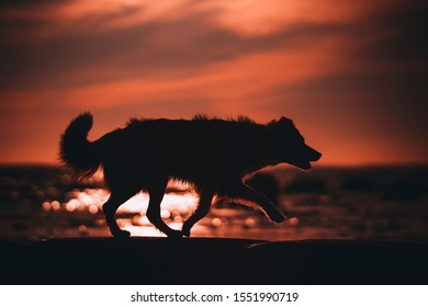 Border collie silhouette at the sea