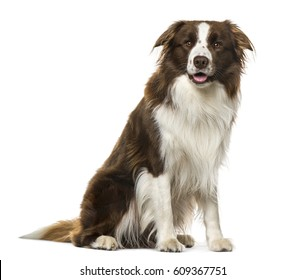 Border Collie sitting, 2 years old , isolated on white