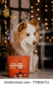 Border collie  sitting next to a gift box and a  Christmas tree