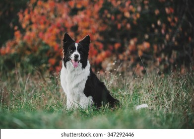 Border Collie is sitting on the grass