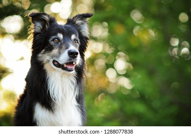 Border collie is sitting on a rock. Dog at the sunrise.