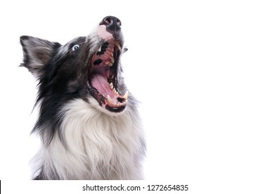 Border Collie snaps in the air isolated on white background