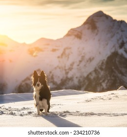 Border collie in the snow