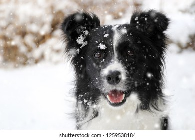 Border collie in snowfall