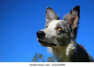 Border collie in spring