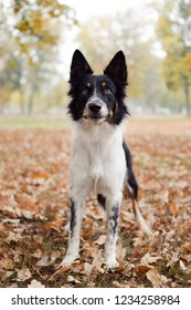 Border collie standing in the leaves and looking above the camera