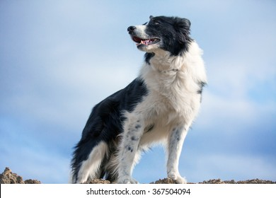 Border Collie standing on a hill looking to the left