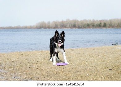 Border collie standing tired after playing a dog toy on the riverbank
