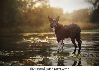 Border collie is standing in the water. Border collie at sundown. Dog in beautiful landscape.