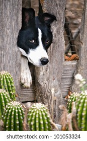 Border Collie sticking head through old wood fence with cactus