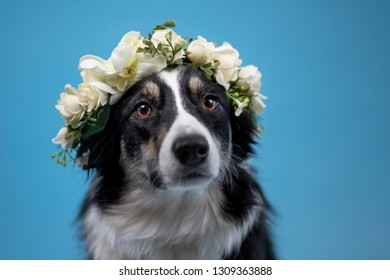 Border Collie in Studio with Flowers