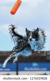 Border collie twisting in mid-air to get his toy dock diving