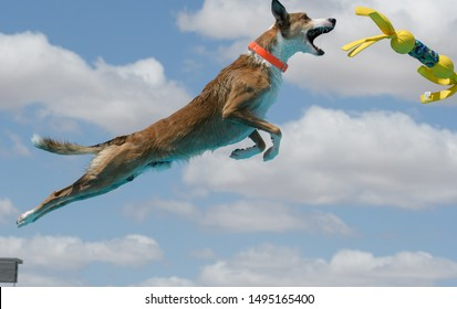Border collie, Whippet mixed breed dog dock diving